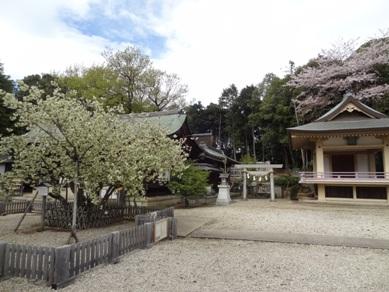 上地八幡宮 うこん桜4