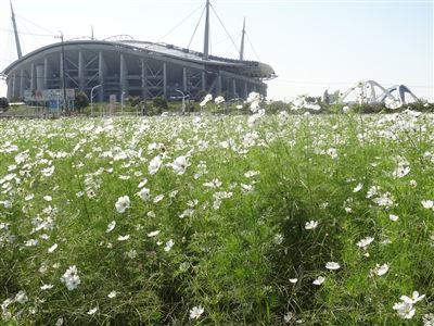 豊田スタジアム付近のコスモス4