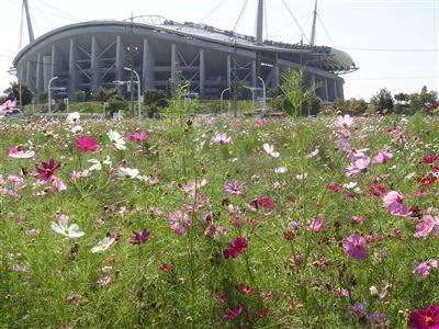 豊田スタジアム付近のコスモス1