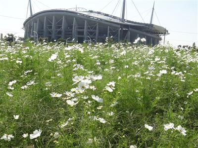 豊田スタジアム付近のコスモス2