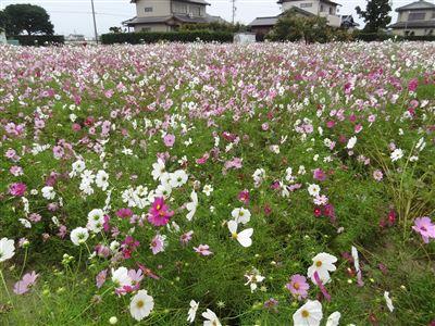 浜松市東区中野町のコスモス畑1