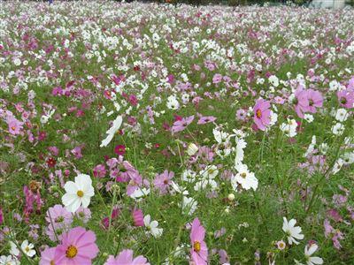 浜松市東区中野町のコスモス畑2