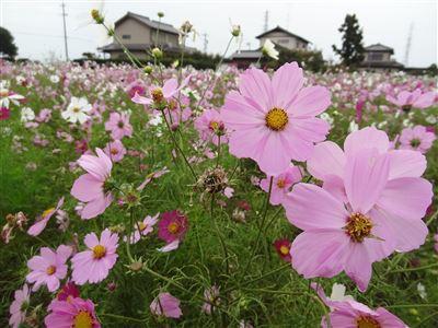浜松市東区中野町のコスモス畑4