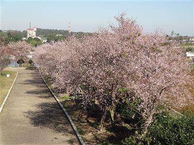 「阿久比ふれあいの森」の四季桜1
