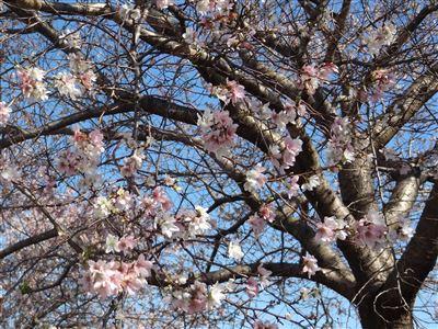 「阿久比ふれあいの森」の四季桜2