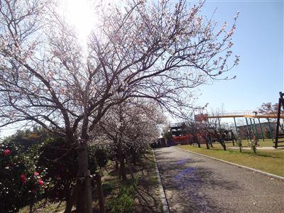 「阿久比ふれあいの森」の四季桜4