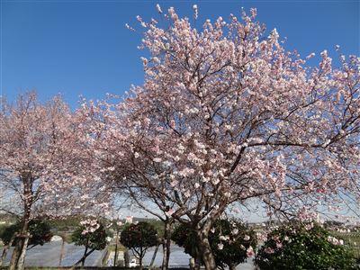 「阿久比ふれあいの森」の四季桜5