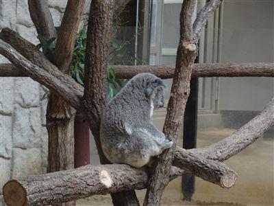 新しいコアラ