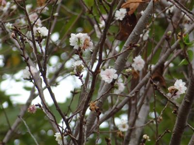 東山植物園の四季桜2