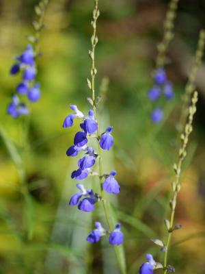 Salvia reptans West Texs Form