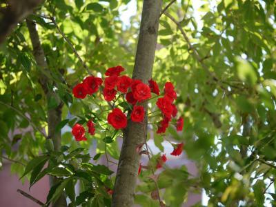 Red Cascade