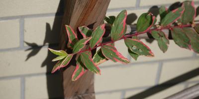 Hypericum Tricolor