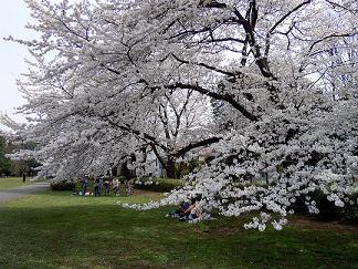 お花見@野川公園
