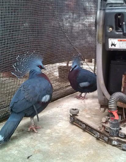 掛川花鳥園のオウギバト