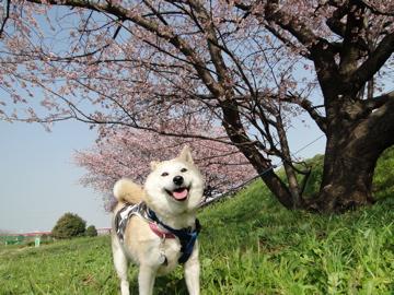 桜とマック