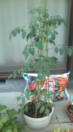 H23.8.5 トマト