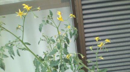 H23.8.20 トマト 花