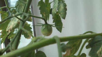 H23.8.20 トマト実