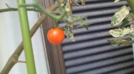 トマト実 9.9