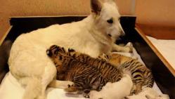 メス犬と小虎