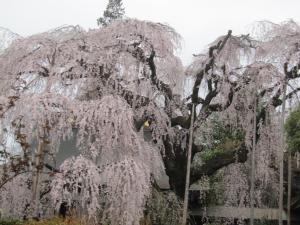 慈雲寺 桜