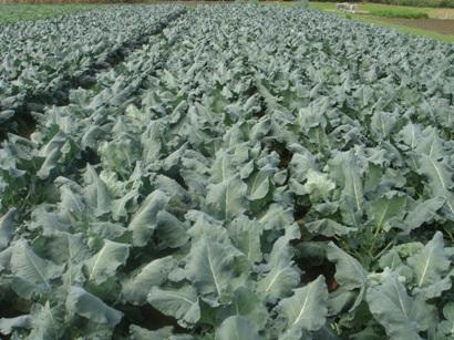 ブロッコリー畑