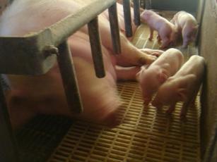 豚のお母さんと赤ちゃん