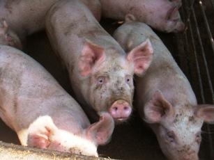 人懐っこい豚たち