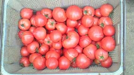 シモタファームさんの規格外トマト