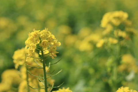 100423 菜の花