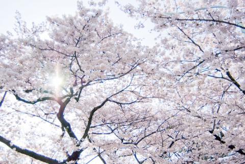 100423 白い桜