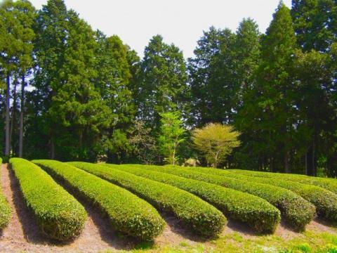 091107 静岡茶畑