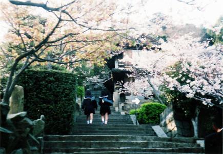 2012尾道桜石段bb