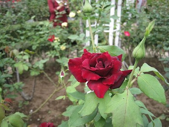 furukawa-garden9.jpg