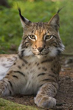 Lynx_lynx_poing.jpg