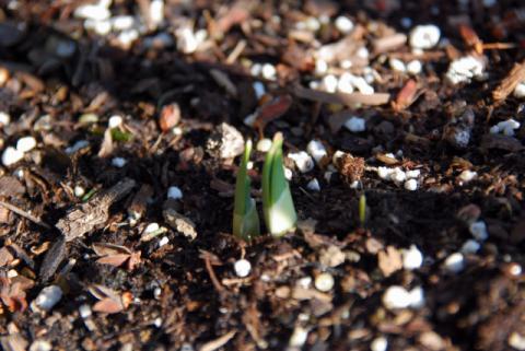 水仙の芽がでました(3月)
