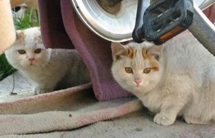 英橋 子猫