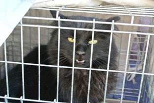 英橋 黒長毛猫