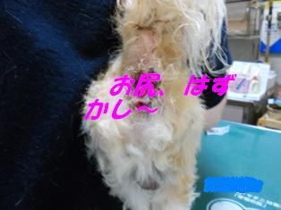 シーズー肛門周囲腺腫