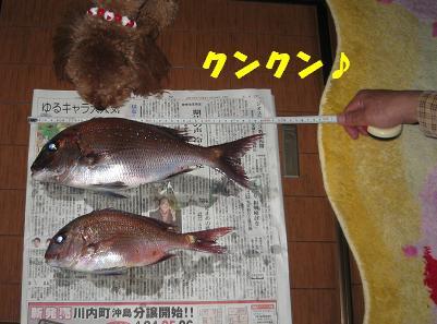 鳴門鯛 007
