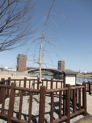 sakura-kansui2013-3-4.jpg