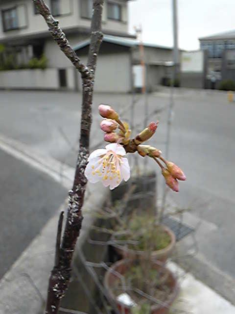 Image525 さくらんぼ