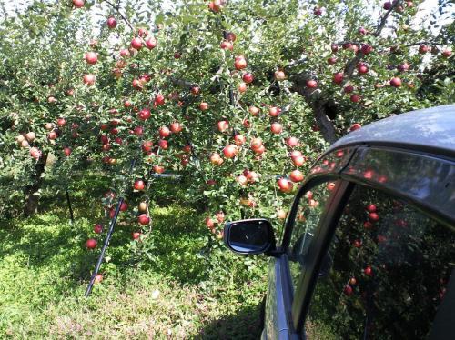 リンゴ畑(26.10.17)