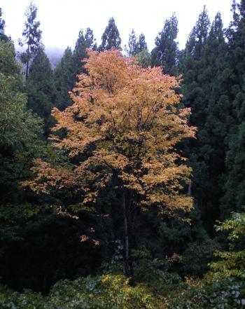 一本紅葉(26.10.22)