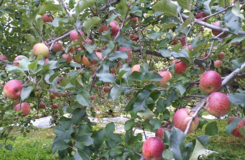 葉摘みは続く(26.10.23)