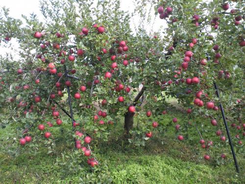 リンゴ畑で葉摘み(26.11.3)