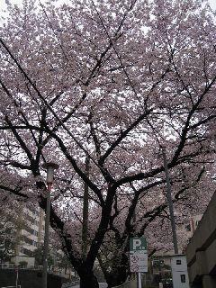 桜10-04-06-01