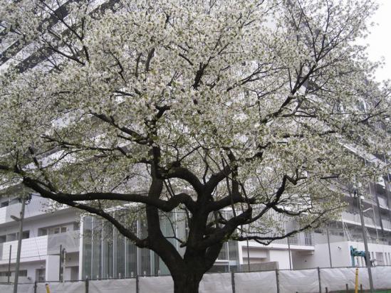 赤羽桜10-04-07-02