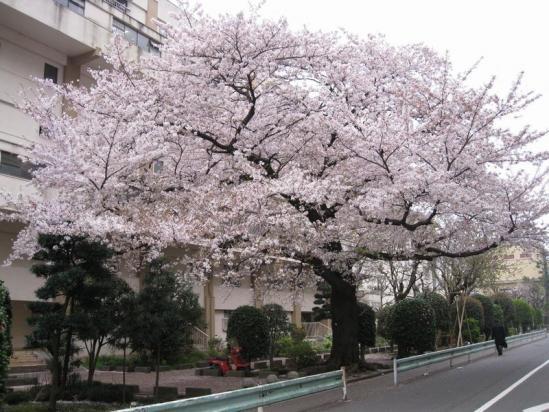 赤羽桜10-04-07-04