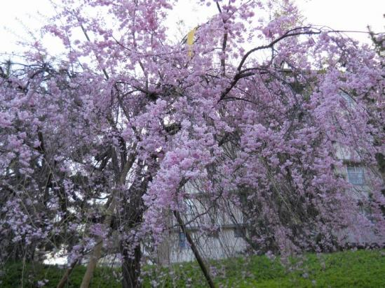 赤羽桜4-13-2